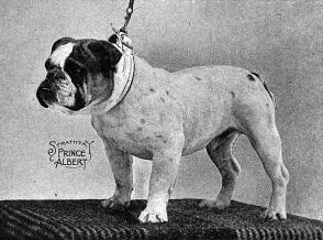 bulldog c. 1913